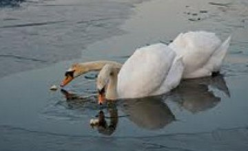В Никополе из ледового плена освободили пару лебедей