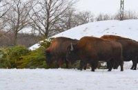 Животные из заповедника Павлоградского химзавода полакомились городской новогодней елкой  (ФОТО)