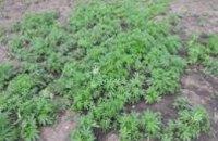 В Бердянске полиция нашла у местного жителя плантацию конопли