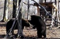 На Прикарпатье из-за теплой погоды медведи не впадают в спячку (ВИДЕО)