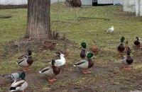 «Утки знают, что делать в катастрофических ситуациях»: орнитолог о разливе озера в парке Глобы