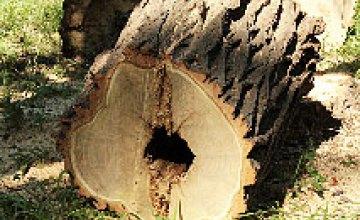 Плановая вырубка деревьев в сквере им. Ленина (ФОТОРЕПОРТАЖ)