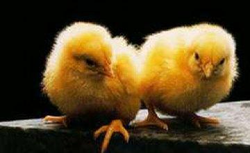Птичий грипп добрался до Севастополя