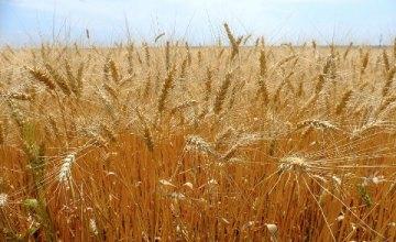 Аграрии Днепропетровщины собрали уже 800 тыс. тонн ранних зерновых