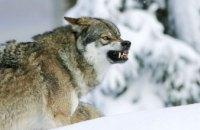 В Днепропетровской области активизировались волки, - СМИ