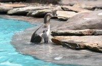 В Чили отказались от добычи железной руды ради защиты пингвинов