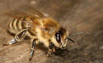 Жителям Днепропетровщины напомнили, что делать при укусе пчелы