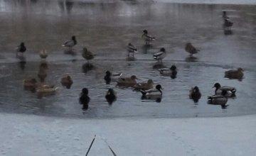 В Днепре диких уток спасли из ледяного плена (ВИДЕО)