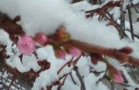В Мукачево под снегом зацвела сакура (ФОТО)