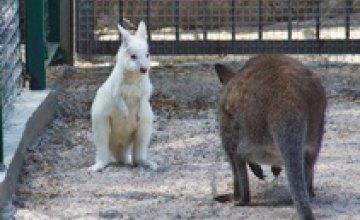 В Одесском зоопарке родился белый кенгуренок-альбинос