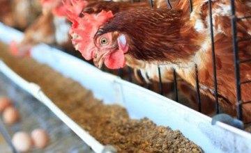 В Японии вывели кур, яйца которых содержат препараты для лечения рака, склероза и гепатита