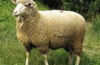 Украина запретила ввоз овец и коз из Нидерландов