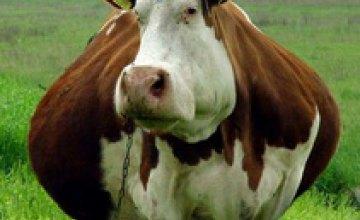 В Одесской области коровы начали взрываться от обжорства
