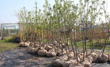 Как проходит высадка деревьев в рамках акции «Посади дерево – спаси город» на левом берегу Днепра (ФОТОРЕПОРТАЖ)