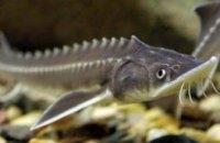 В Днепр выпустили более миллиона краснокнижных рыб