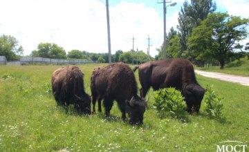 В заповеднике Павлоградского химического завода произошло очередное пополнение в семье бизонов