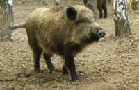 Под Киевом из-за чумы могут убить 60 тыс свиней