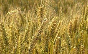 Аграрии Днепропетровской области засеяли 560 тыс. га озимыми