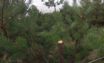 Днепрянам рассказали, какой штраф придется заплатить за незаконно спиленную елку