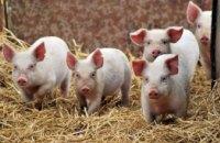 9 советов, как уберечь хозяйство от африканской чумы свиней