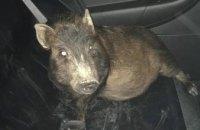 В США мужчина обратился в полицию из-за преследовавшей его свиньи (ФОТО)