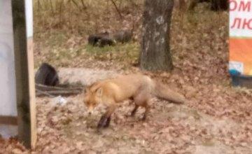 По Днепру разгуливает бешеный лис, - местные жители (ФОТО)