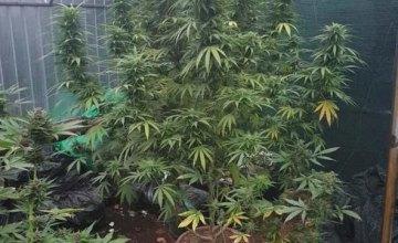 В Кривом Роге 53-летняя женщина выращивала в теплице коноплю