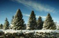 Днепропетровцы уже купили более 26 тыс елок на новогодние праздники