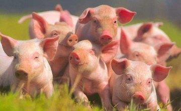 На Днепропетровщине усилили контроль за состоянием поголовья свиней и качеством мяса на рынках