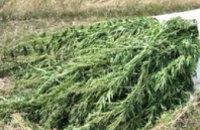 На Днепропетровщине за 4 месяца правоохранители обнаружили и уничтожили почти 24 тыс наркотических растений