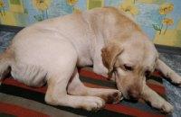 Онлайн-база потерянных животных в Днепре: лабрадор ищет хозяев(ФОТО)