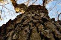 В Виннице 11-летнюю девочку раздавило дерево