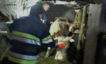 На Днепропетровщине спасли беременную корову, застрявшую в кормушке (ФОТО)