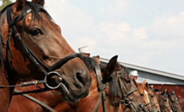 Днепропетровские елки будет охранять конная милиция