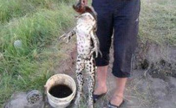 В Херсонской области поймали жабу, весом 7 кг