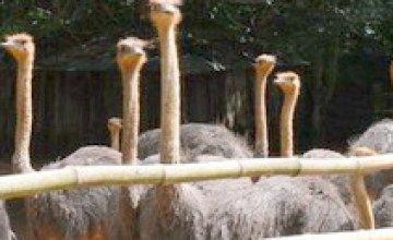 «Агро-Союз» открыла первую в Украине страусиную бойню