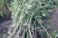 В Каменском обнаружили более 100 кустов посева конопли во дворе частного дома