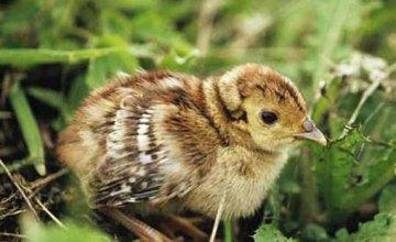 В Кривом Роге остановили движение на трассе, чтобы спасти птенца фазана (ВИДЕО)