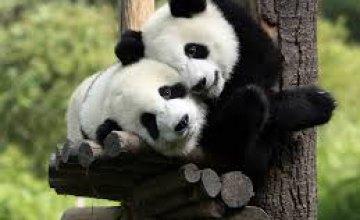 Ученые объяснили черно-белую окраску панд