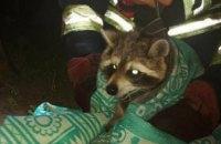 В Новомосковске спасатели сняли с дерева домашнего енота (ФОТО)