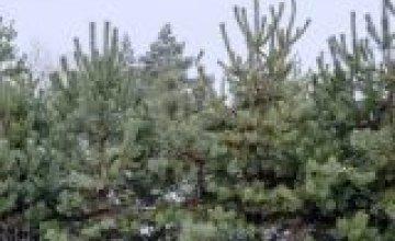 Как на Днепропетровщине выращивают праздничные елки