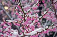 В Днепропетровской области из-за непогоды ожидается плохой урожай абрикос и вишни, - Гидрометцентр