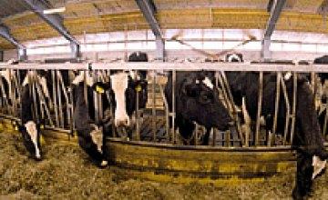 В Днепропетровской области сокращается поголовье крупного рогатого скота