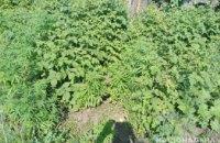 В Синельниково у ранее судимого мужчины изъяли более 100 растений мака и конопли
