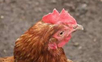 В Днепропетровской области ветеринары не обнаружили птичий грипп