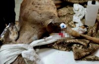 В Днепропетровской области спасли раненую косулю (ФОТО)