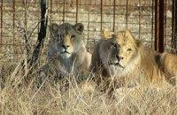 В Тбилиси лев загрыз человека