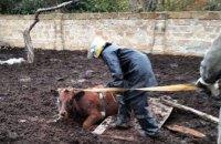 В Днепропетровской области бычок провалился в глубокий погреб (ФОТО)