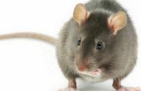Рейс американской авиакомпании отменили из-за крысы