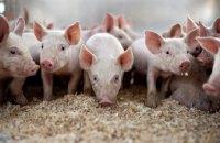 В Ровенской области зафиксировали новый случай чумы свиней